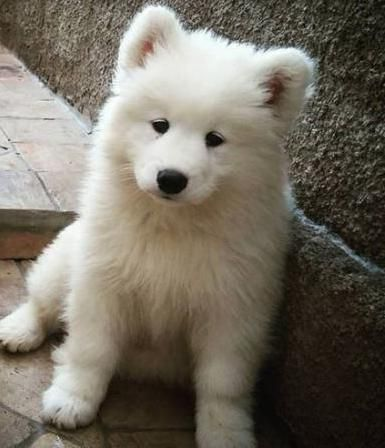 The Sweetest Samoyed Puppies For Sale In Texas More