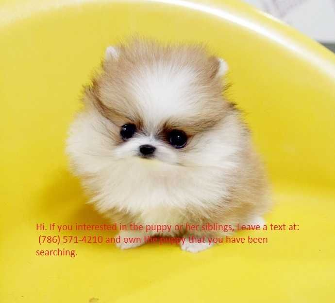 Good Looking Teacup Pomeranian Puppies Ready For Their New Home