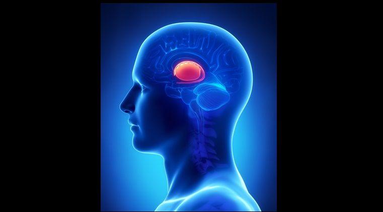 Brain BASAL GANGLIA anatomy - cross section | Anatomía y fisiología ...