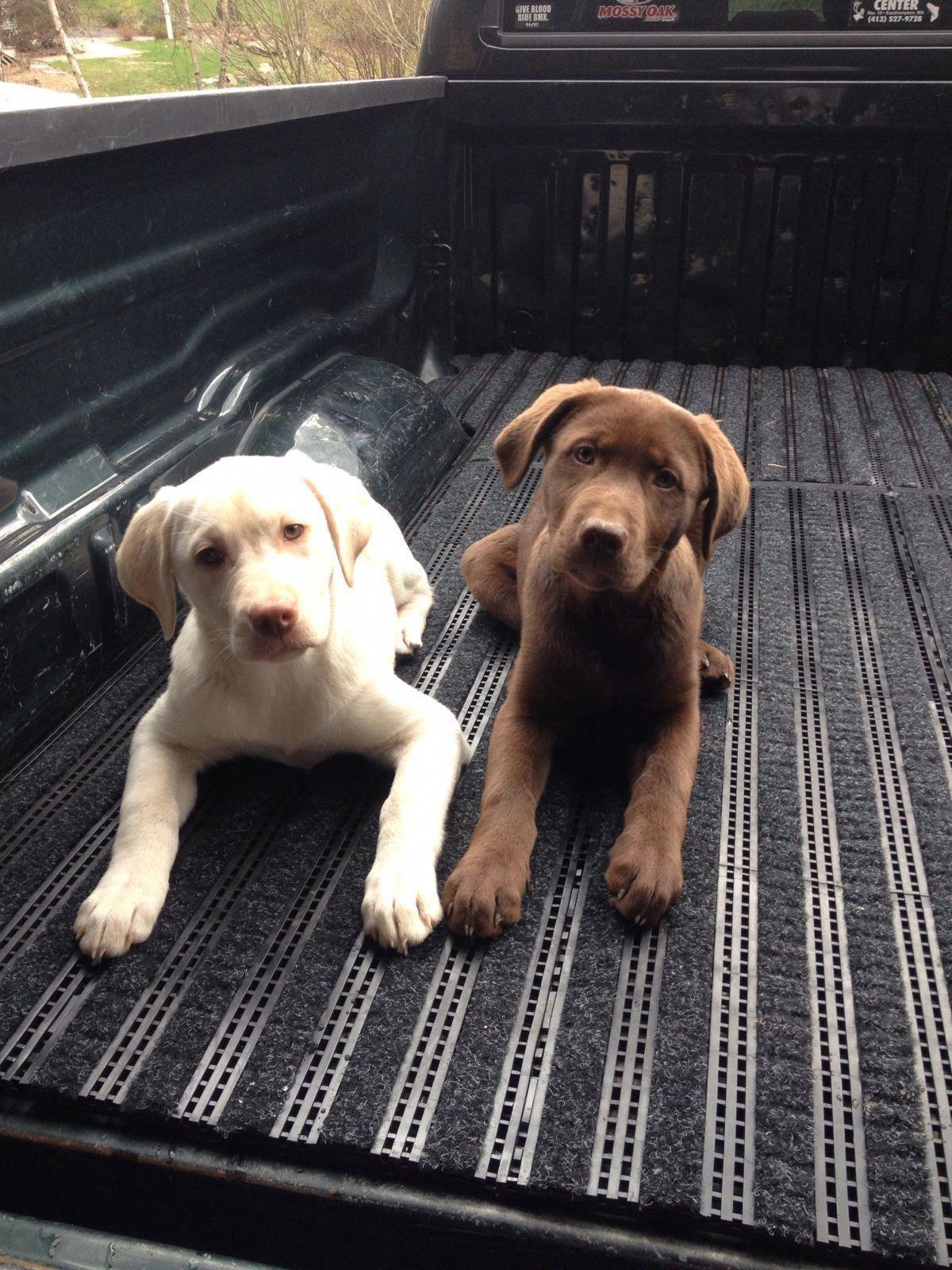 Dog food secrets labrador retriever puppies labrador