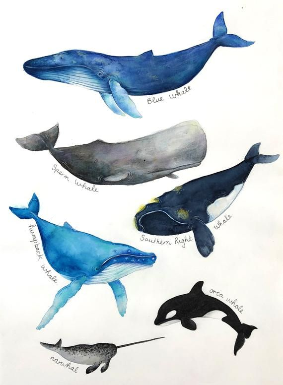 Photo of Whale Art, Whale Painting, Original Watercolor, Original Art Work, Whale Chart, Natural History Poster, Whale Poster, Original Painting