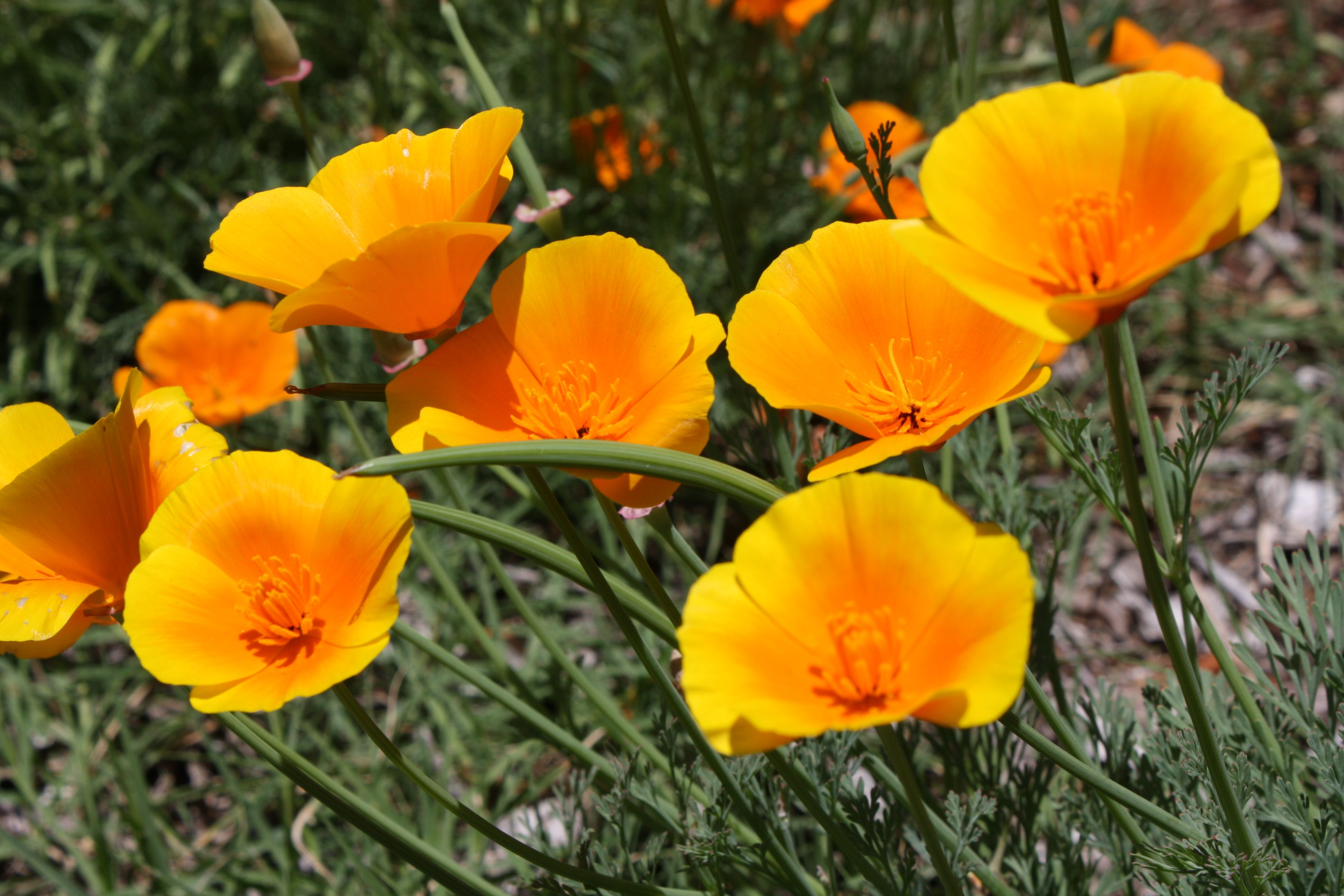 Gold California poppies in my front yard | California ...