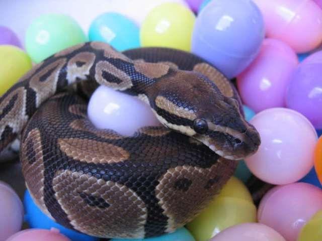 The Best Pet Snake For A Beginner Pet Snake Reptiles Pet