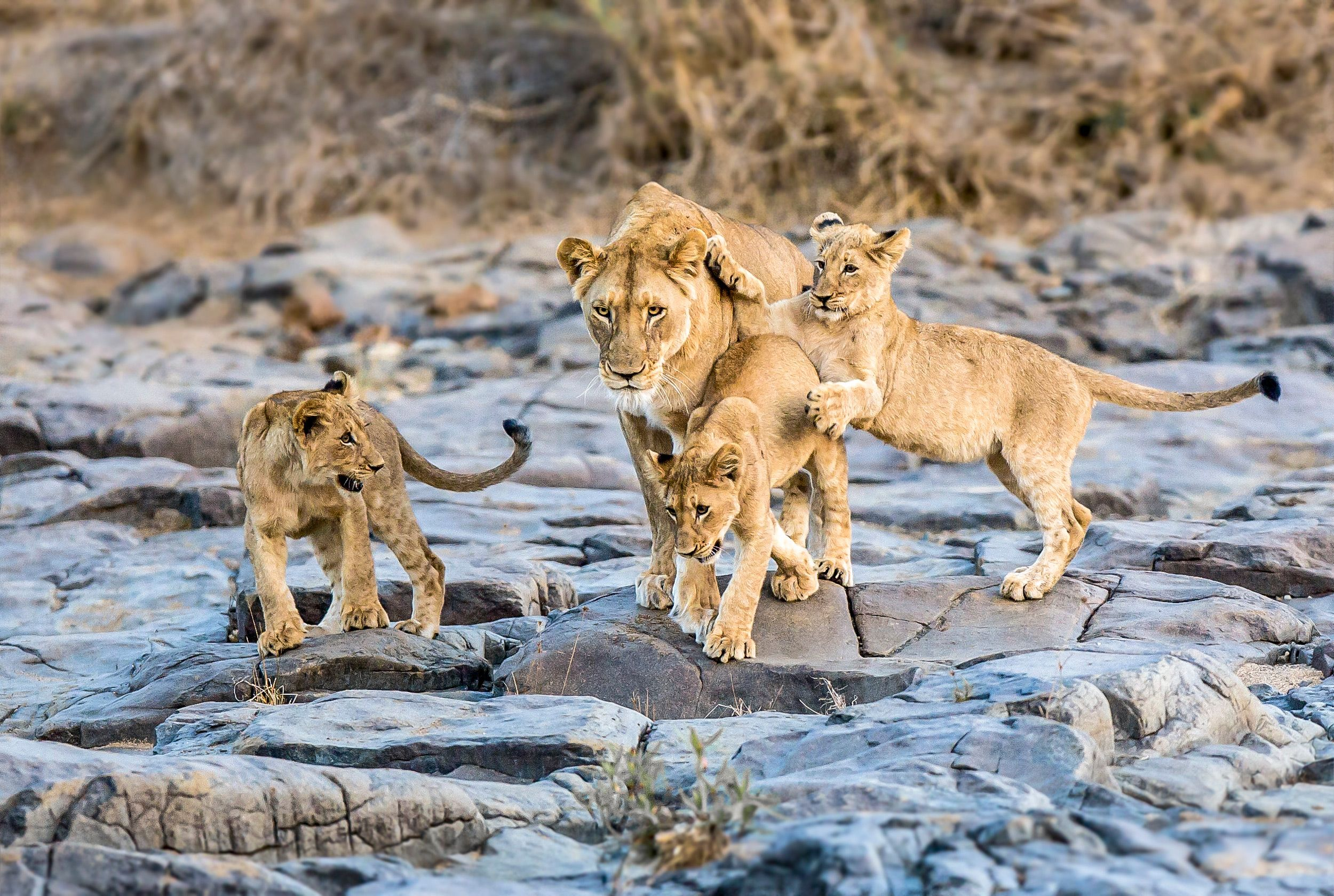 A lion family walks along a dry riverbed in Amazulu Game