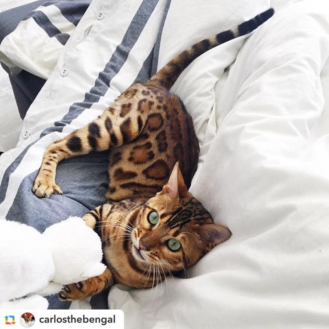 Instagram Photo By Bengal Cats May 26 2016 At 6 07pm Utc Cute Cat Gif Kittens Cutest Cute Animals