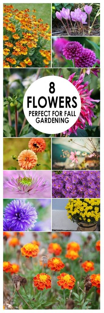 8 Flowers for Fall Gardens