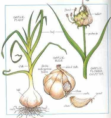 garlic diagram | healthy food | Pinterest | Botanical drawings ...