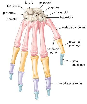 Bones of the hand | MSOT: Occupational Therapy | Pinterest | Medizin ...