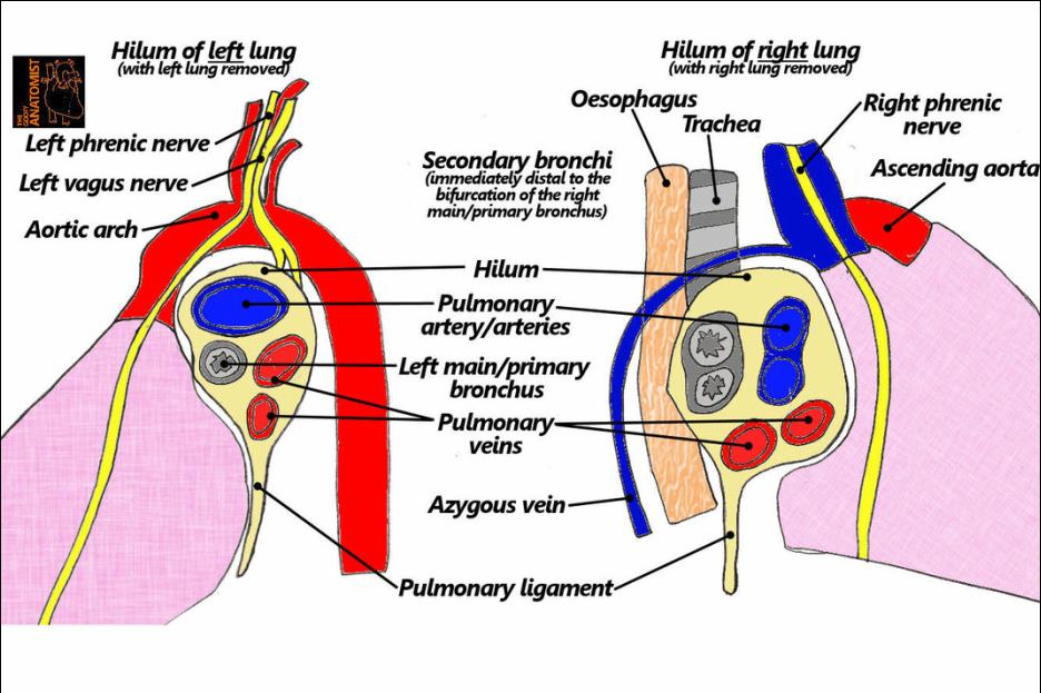 Αποτέλεσμα εικόνας για hilum of lung | THORAX | Pinterest