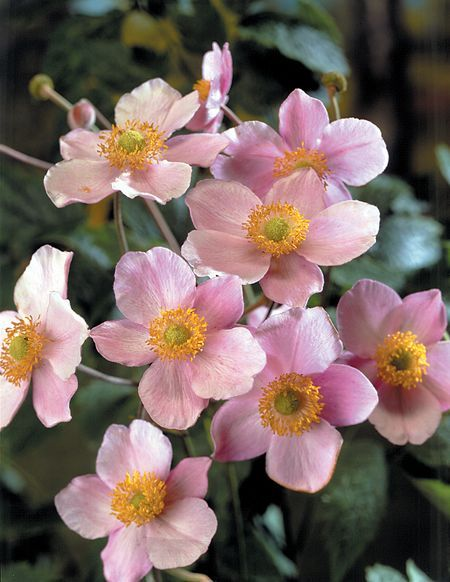 Anemone Tomentosa 'Robustissima' (Herfstanemoon/Japanse Anemoon)
