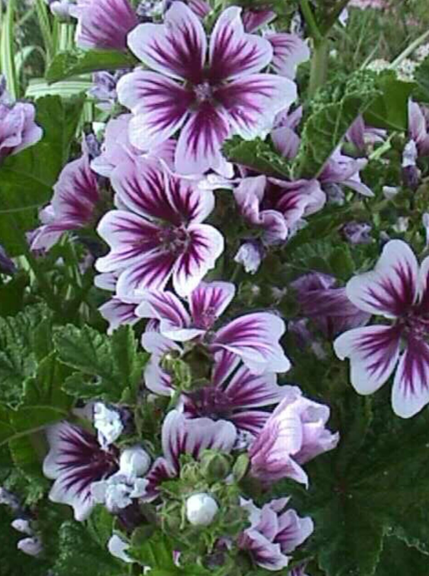 Wow perfection in colour gardens and landscaped yards pinterest zebra mallow malva sylvestris cousins to hollyhocks are short lived perennials that bloom all summer long and self seed mightylinksfo
