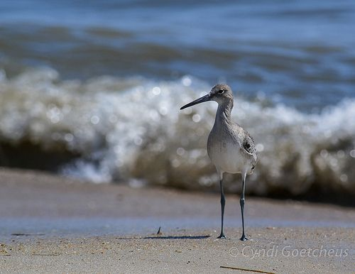 willet 181 85x11 brt, #willet, #shorebird