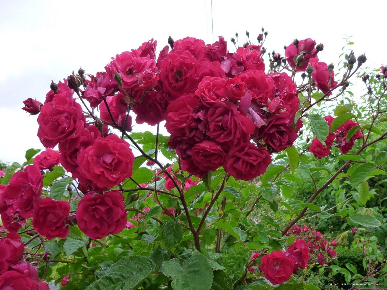 Arte y jardiner a empresa rosales polyantha rosas for Jardineria rosales