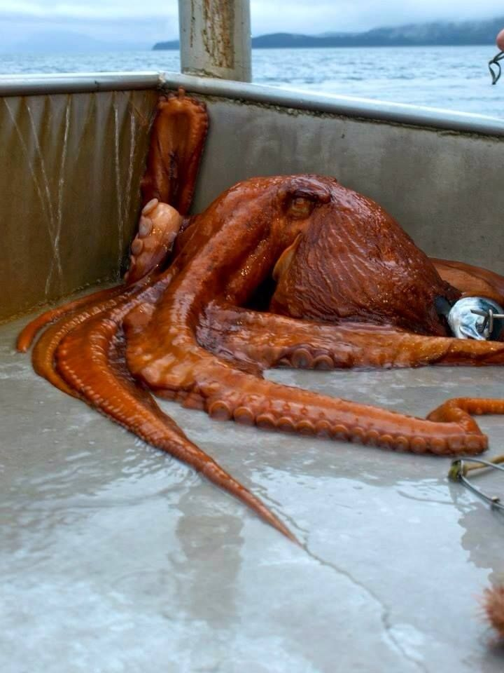 """(Project Noah Fact of the Day: The octopus were named by ancient Greeks, meaning """"eight foot"""". The preferred plural is octopuses, although octopi and octopodes are also recognized.  The giant Pacific octopus (GPO) or North Pacific giant octopus, is a large marine cephalopod belonging to the phylum Mollusca, and genus Enteroctopus. Its spatial distribution includes the coastal North Pacific.  via Project Noah FB"""