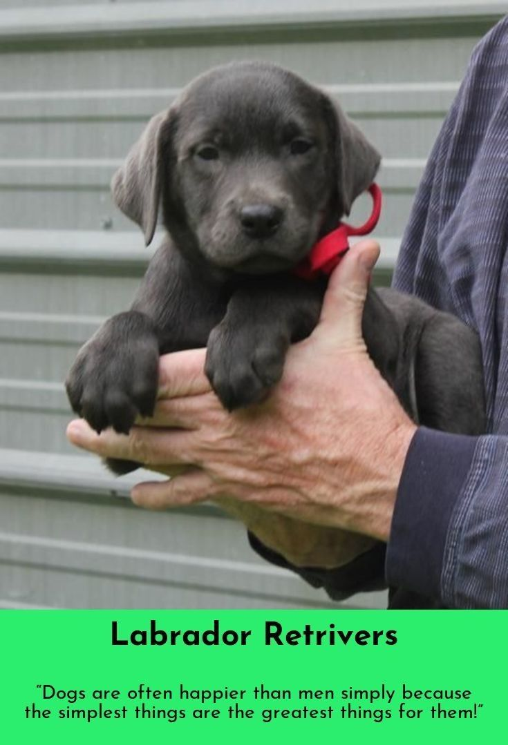 Champagne Lab Puppies Michigan References