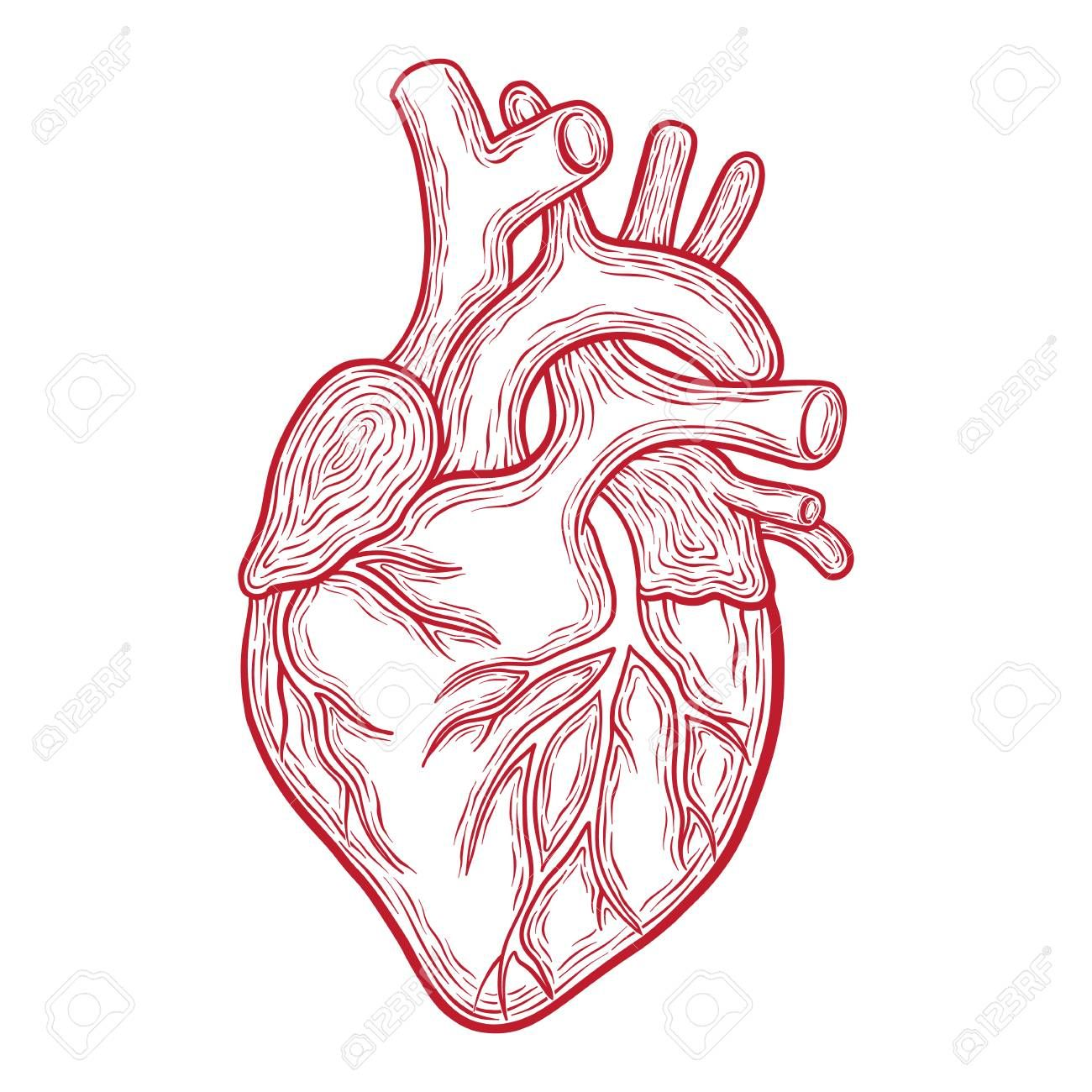 Stock Vector Human heart drawing, Hand drawn vector, How