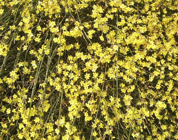 Flower of the Day: Winter Jasmine | Plants for Central Texas ...