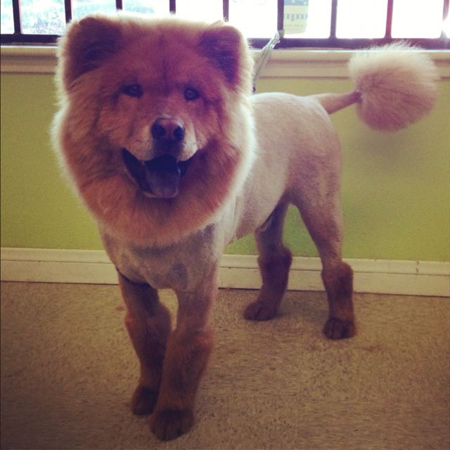 Chow Lion Clip With Boots Pet Grooming I Love Dogs Doggy