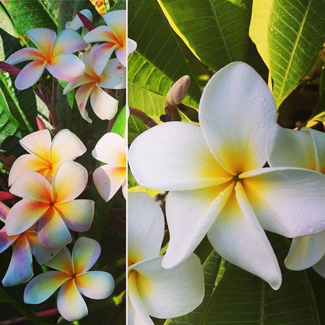 Aloha San Diego 🤙🏻Samoan Fluff & Candy Stripe Plumeria in full bloom, mid October. . . . . . #Plumeria #cultivar #samoan #candystripe #tropicalgarden #tropicallandscape #sungrown #livingsoil #organic #organics #organicnursery #backyardbuds #horticulture #tropicalliving #aloha #sandiego #encinitas #lajolla #delmar #sanclemente #ranchosantafe #california #exotic #palmtrees #californiagrown #palms #palm #tropicalplants #landscapedesign #shotoniphone #lajollalocals #sandiegoconnection #sdlo