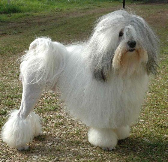 Mali Lavlji Pas Unique Dog Breeds Purebred Dogs Lowchen