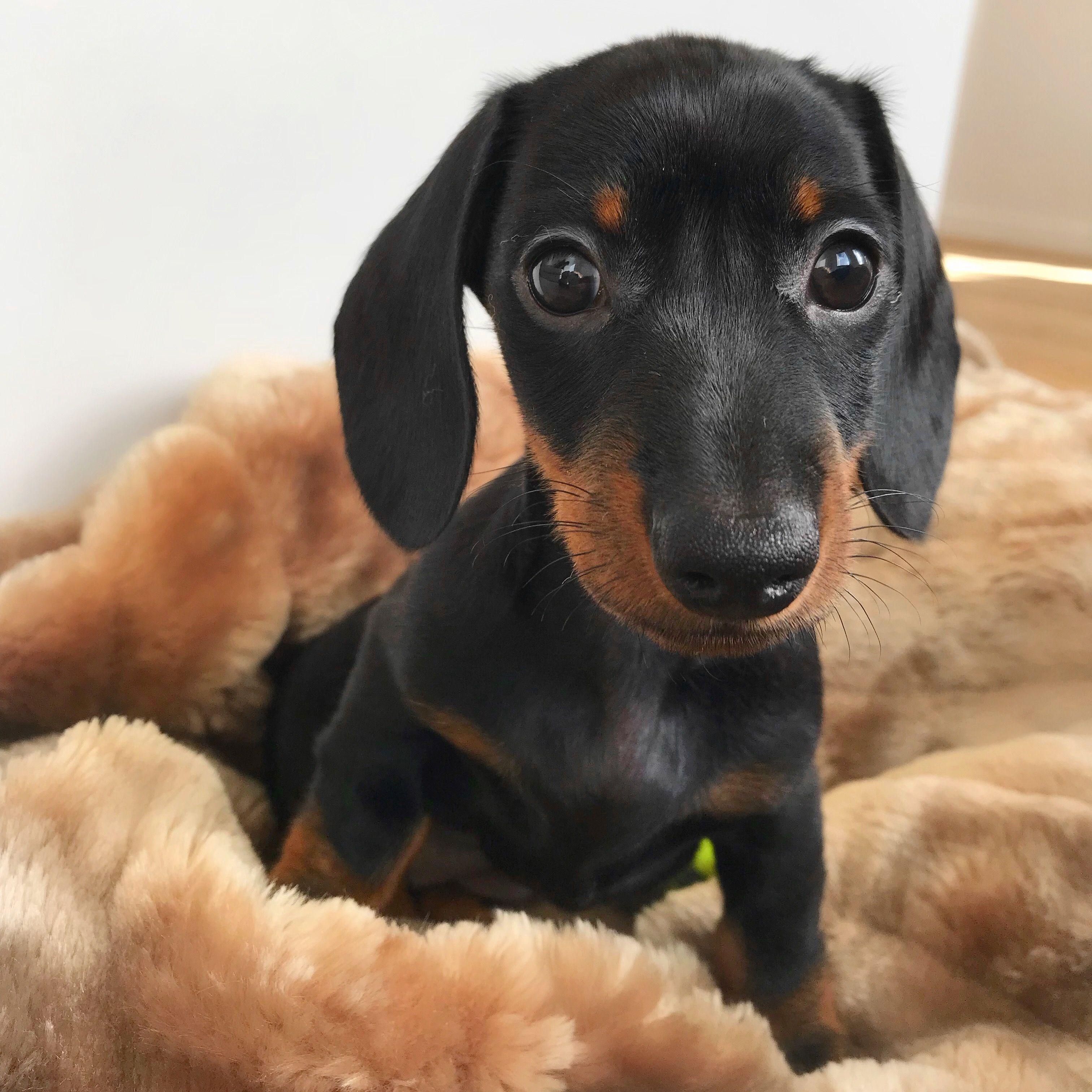 Loulou Sausage Dog Dachshund Puppy Dachshund Love Dachshund
