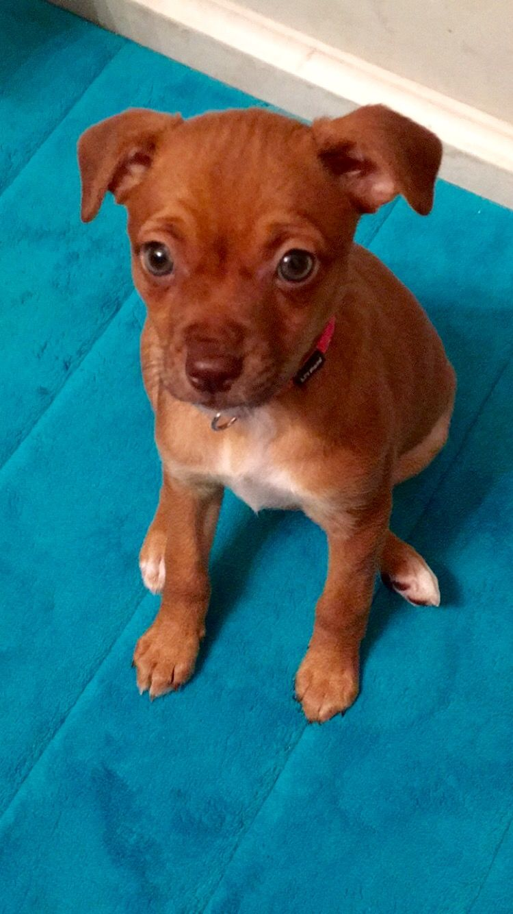 Chihuahua Rottweiler Mix3 Adorable At Its Best Pinterest