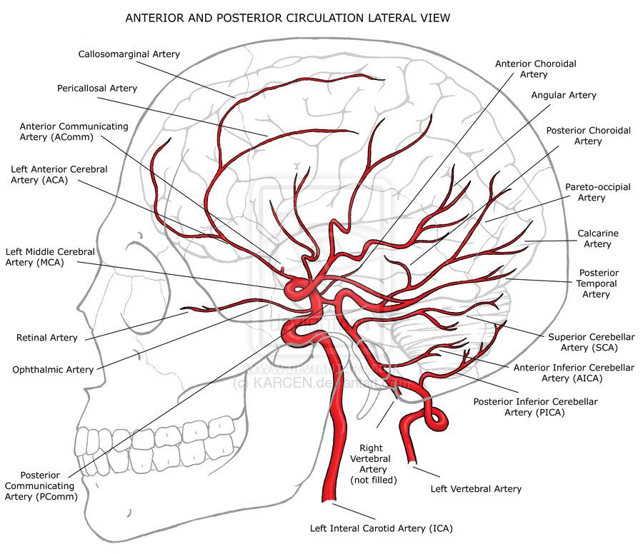 Image result for inferior division of middle cerebral artery ...