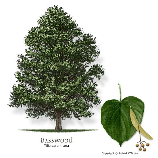 Basswood or Linden Tree and alot of other edible plant ...