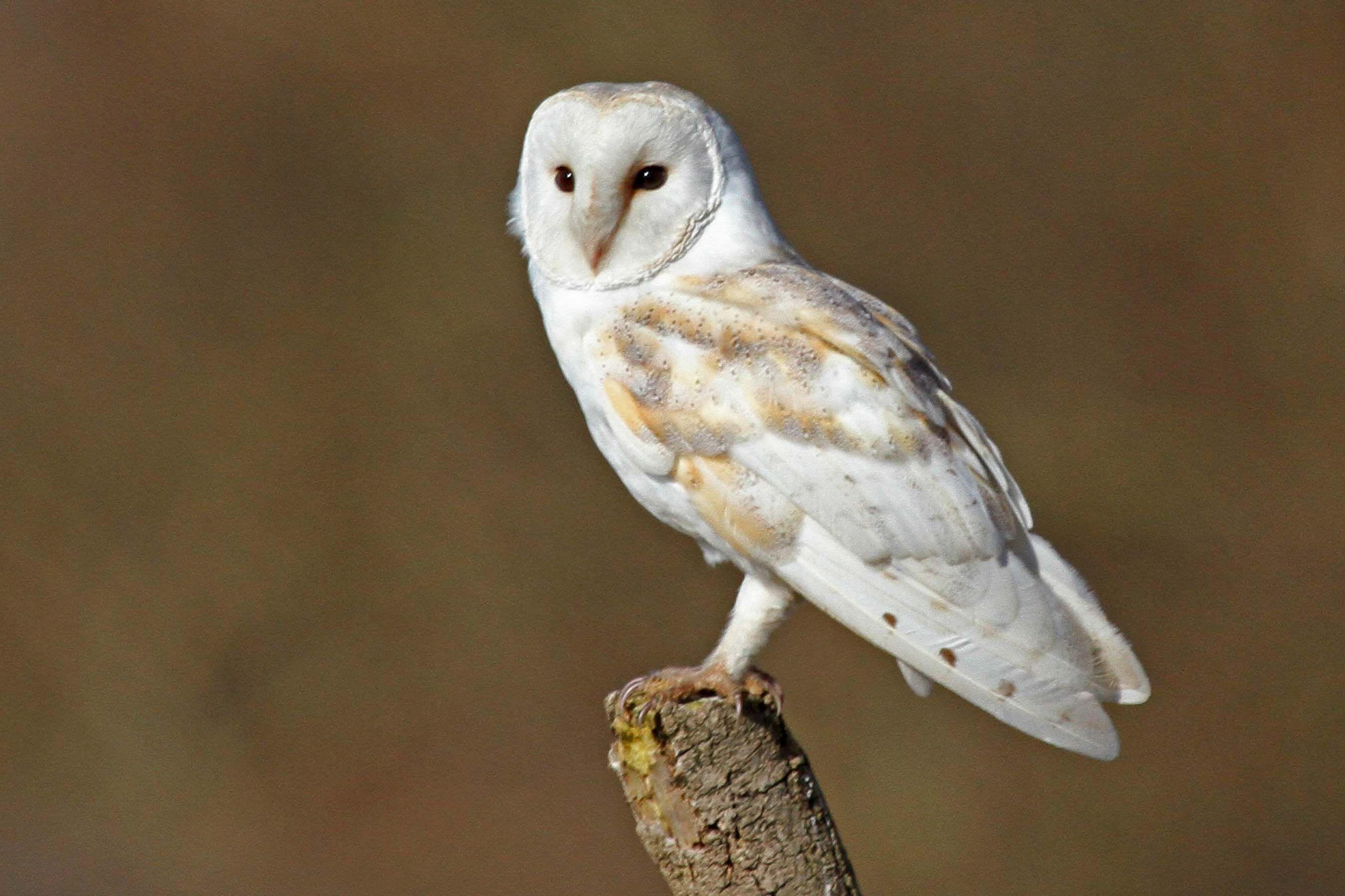 Barn Owl Facts Pictures Diet Breeding Habitat