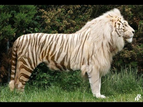 Image of: Far Cry The Top 10 Hybrid Animals Real Hybrid Animals Hybrid Animals List Youtube Pinterest The Top 10 Hybrid Animals Real Hybrid Animals Hybrid Animals