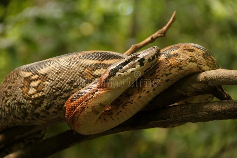Python. Close up of a burmese python on ground , #SPONSORED, #burmese, #Close, #Python, #href, #ground #ad