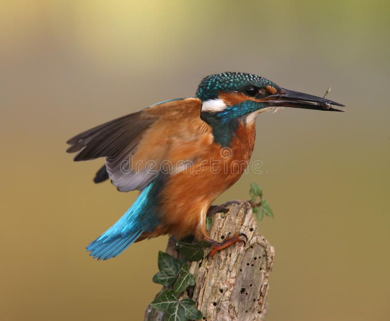 Kingfisher Alcedo Atthis On Post With Fish Ad Alcedo Kingfisher Atthis Fish Post Ad Kingfisher Birds Stock Photos
