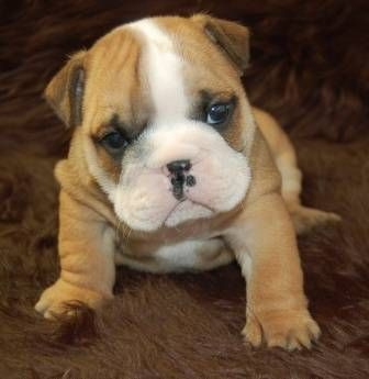 English Bulldog Puppies New Litter 2 Boys And 2 Girls Available