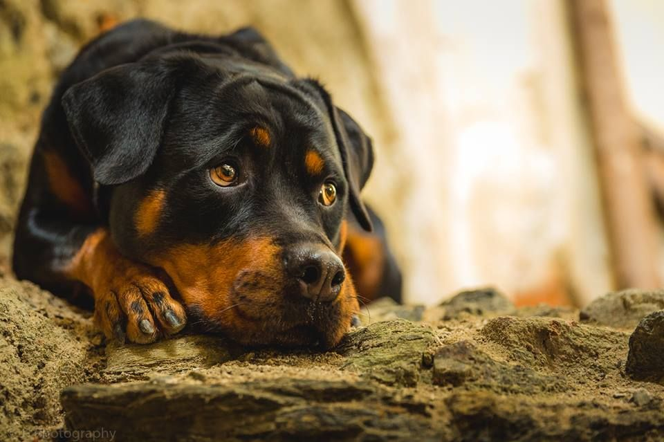 rottweiler credit JJ Photography facebook page | Rottie's