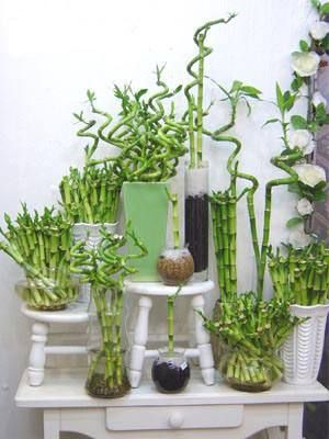 Cultivo de bambú para interiores Plantas para decorar, Ser - decoracion de interiores con plantas