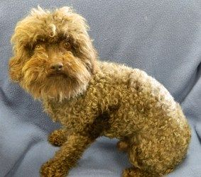 Porter Is An Adoptable Poodle Dog In Mocksville Nc Porter A