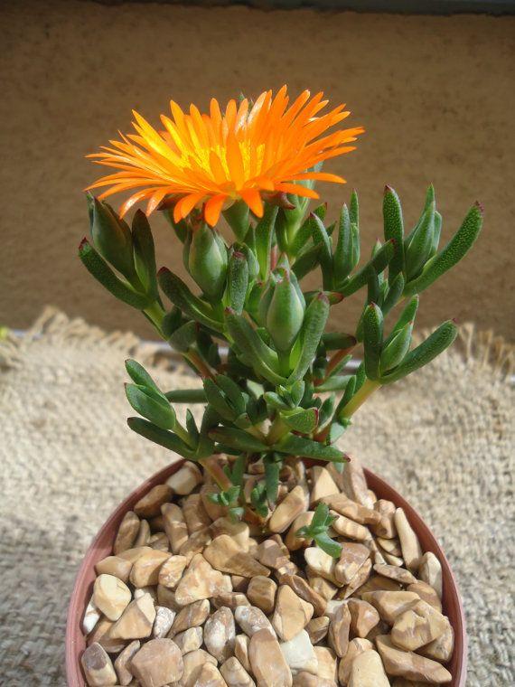 Orange Bush IceplantLampranthus Aurantiacus by CTSairplants