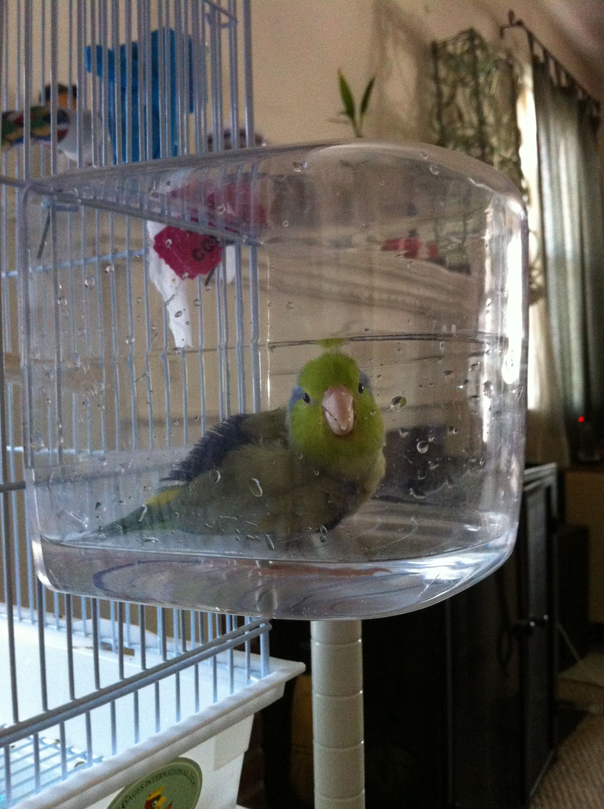 This Is A Clever Way To Get Your Parrotlet To Take A Bath It