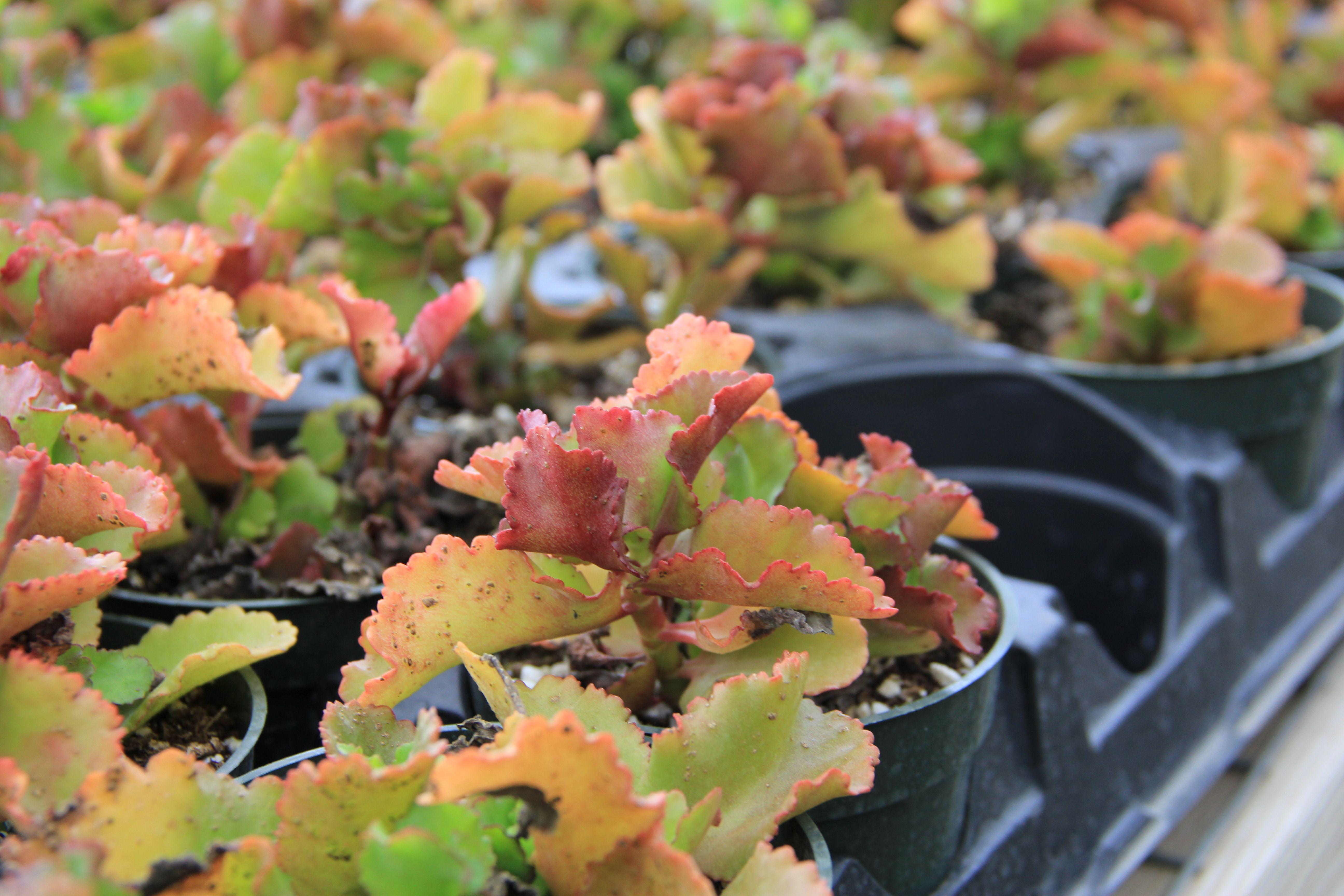 Kalanchoe Longiflora Coccinea Plant for Sale
