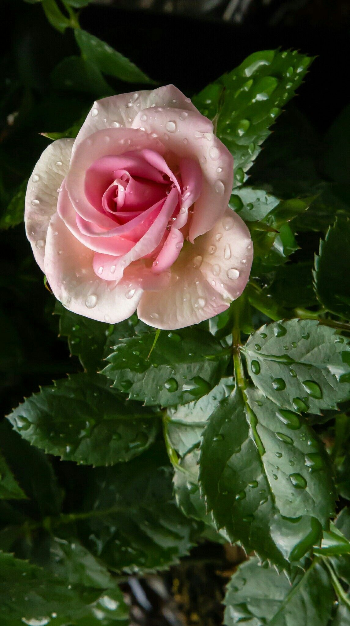 Rosas Beautifulflowersphotography All Kinds