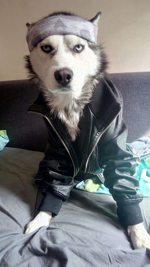 Husky In A Leather Jacket Cute Animal Pictures Cute Animals