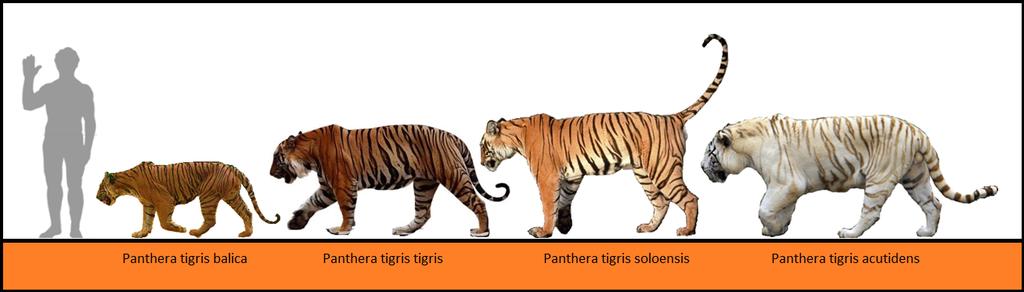 Pinterest Panthera tigris by Homero13.deviantart.com on