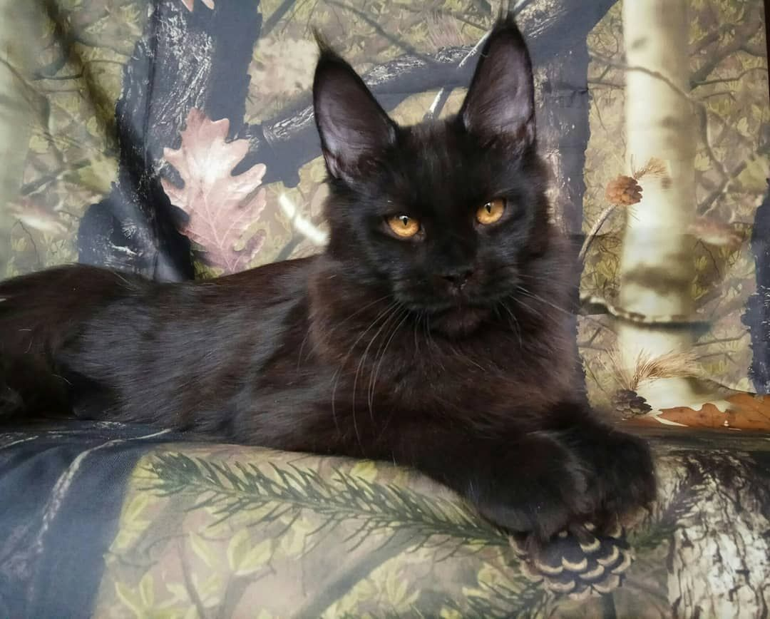 Park Art My WordPress Blog_Maine Coon Kittens Available Now