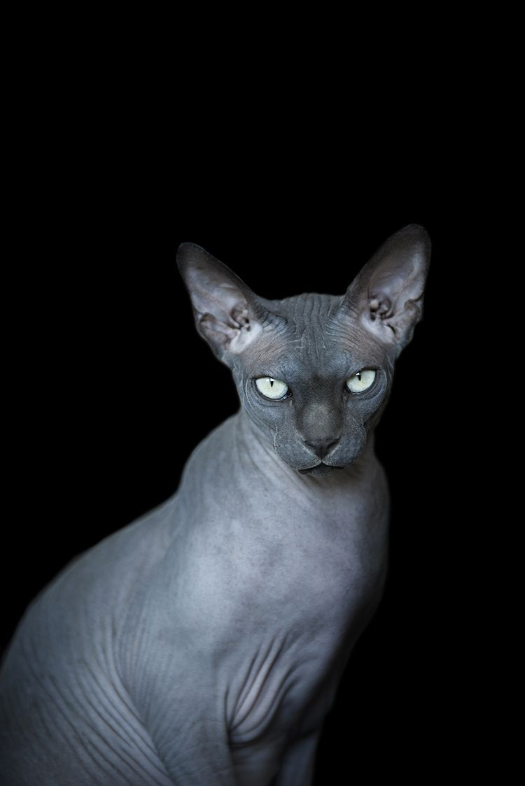 Fine Art Sessions Frame Your Pet Los Angeles Pet Photographer In 2020 Hairless Cat Sphynx Cat Sphinx Cat