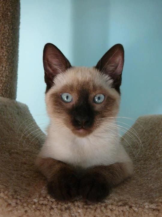 This Is What Moe Looks Like Siamese Cat Allergies Cats Siamese Cats