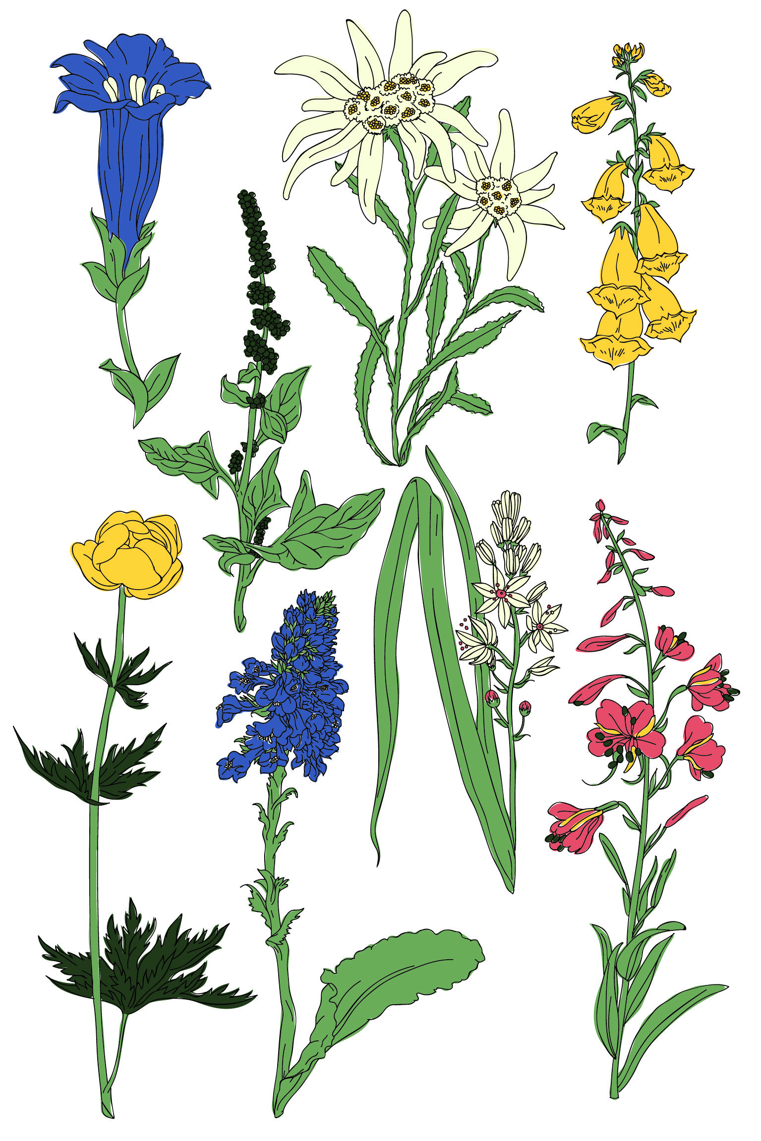 Illustration Vectoriel Flowers Herbier Edelweiss Alpes