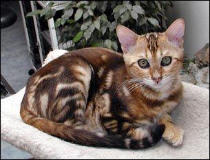 Cat Coat Colors Patterns Bengal Cats Colors And Patterns Of The Bengal Cat Bengals Are Bred Bengal Cat Asian Leopard Cat Pretty Cats
