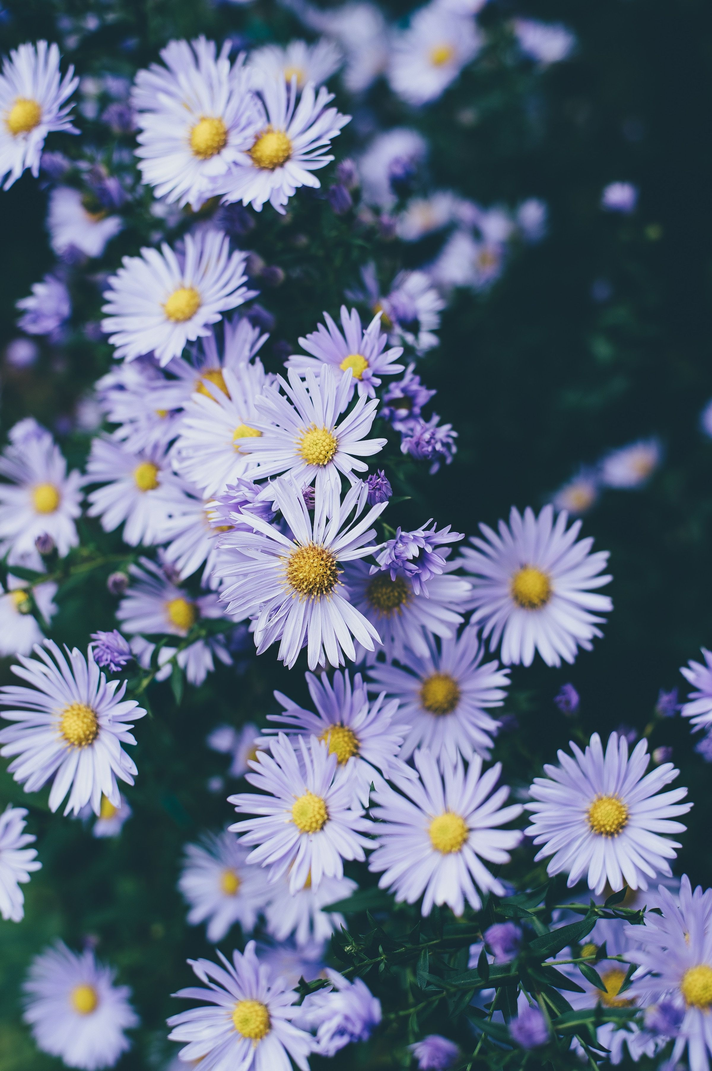 Aster In 2020 Flower Iphone Wallpaper Spring Wallpaper Flower Pictures