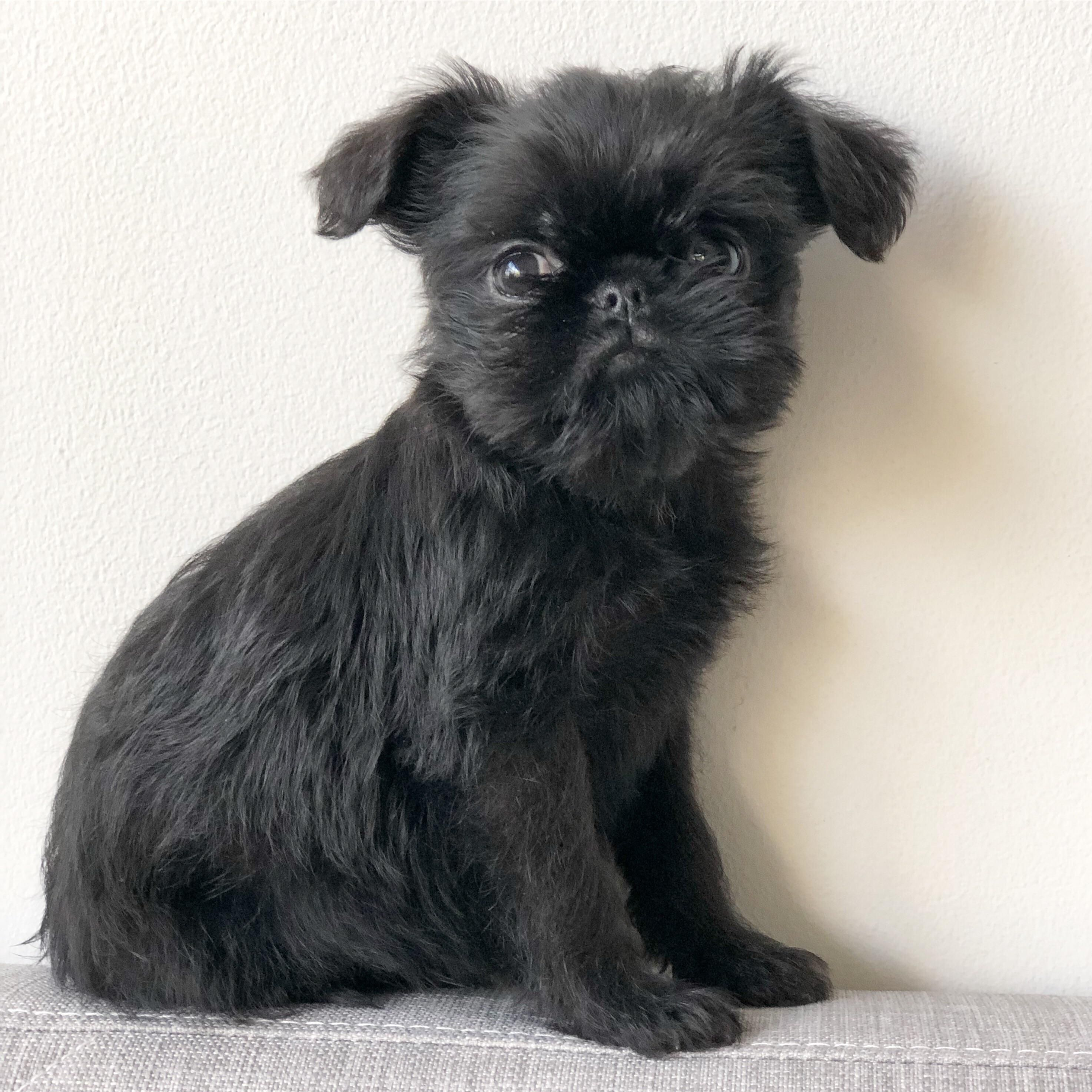 This Is My Brussels Griffon Puppy Hank Music Indieartist