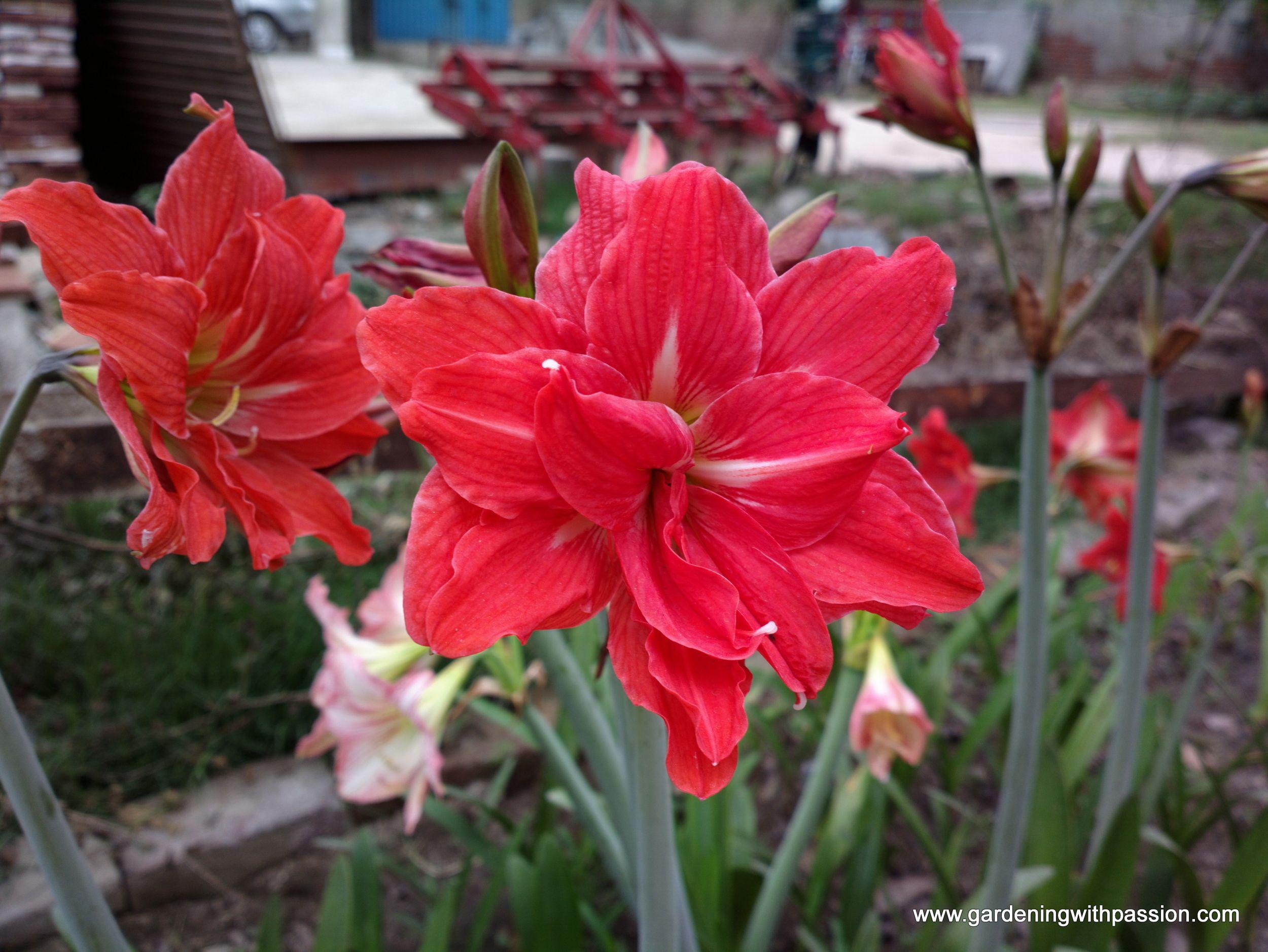 Amaryllis Double Ribbon Amaryllis Bloom Petals